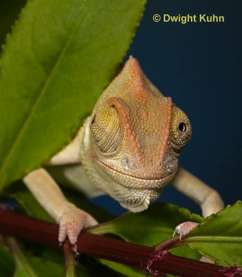 CH47-690z  Veiled Chameleon three month old young, Chamaeleo calyptratus