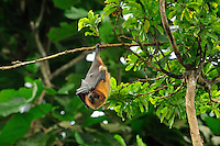 Rodrigues Flying Fox or Fruit Bat (Pteropus rodricensis), Rodrigues Island, Mauritius