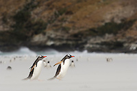 Gentoo Penguins (Pygoscelis papua) walking across a beach through windblown sand, Falkland Islands.