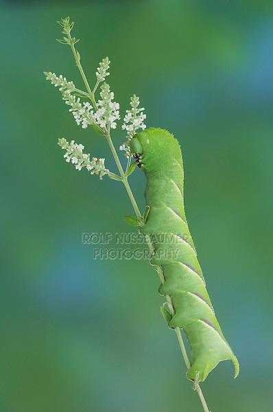 Rustic Sphinx Moth, Manduca rustica , Caterpillar on Beebrush (Aloysia gratissima), Willacy County, Rio Grande Valley, Texas, USA