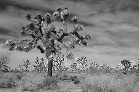Joshua Tree Grove - Black & White