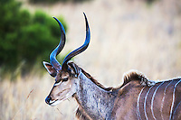 Buck Kudu, Pilanesberg National Park, South Africa.  The Kudu is the largest of Africa's Antelope.