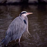 Great Blue Heron (Ardea herodias) standing and fishing in Lake