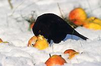 Amsel, Männchen frisst im Winter ausgelegte Äpfel, Fallobst, Vogelfütterung bei Schnee, Schwarzdrossel, Schwarz-Drossel, Drossel, Turdus merula, blackbird