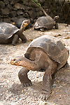 Charles Darwin Research Station, Puerto Ayora, Santa Cruz Island, Galapagos, Ecuador; Galapagos Giant Tortoise (Geochelone elephantopus) from Espanola Island waiting on their feeding platform for food , Copyright © Matthew Meier, matthewmeierphoto.com All Rights Reserved