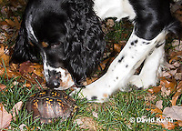 1002-0815  Springer Spaniel Dog Investigating Male Eastern Box Turtle (Tucked in Shell), Terrapene carolina © David Kuhn/Dwight Kuhn Photography.