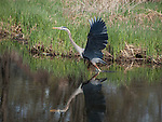 A Great Blue Heron takes off from the shoreline of a pond near Lake Nokomis