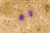CELL MITOSIS - ANIMAL CELL<br />