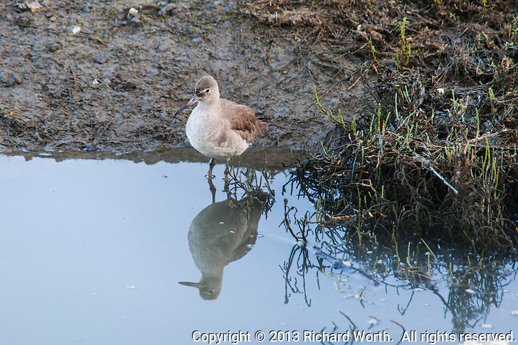 A Willet, a large shorebird, is reflected in pond water at the Hayward Regional Shoreline.