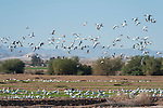 Sonny Bono Salton Sea National Wildlife Refuge, Salton Sea, California; hundreds of Snow Geese (Chen cairulescens) take flight at once after foraging for food in a field to replenish their energy during their migration