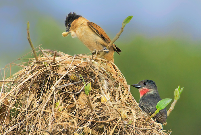 507100053 a wild male and female rose-throated becard pachyramphus algaiae weave a nest on a private ranch in tamaulipas state mexico