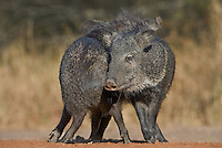 650520246 wild javelina or collared peccaries dicolyties interact on beto gutierrez santa clara ranch hidalgo county lower rio grande valley texas united states