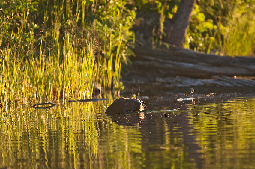 A beaver feeds at McCargo Cove at Isle Royale National Park.