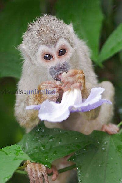 A Squirrel Monkey perched in a tree eating a flower in Amazonian Ecuador.