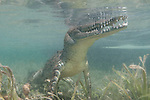 Gardens of the Queen, Cuba; an American Crocodile standing on the sandy bottom amongst the sea grass, with the top of it's head out of the shallow water and it's mouth partially open