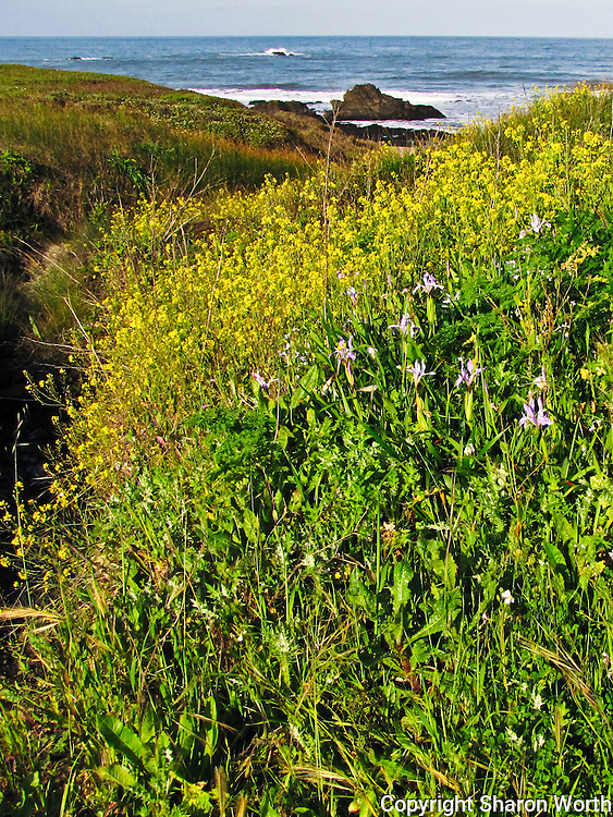 Wild Douglas Iris lend a touch of violet while field mustard provides yellow in a spring scene at Pigeon Point on California's Central Coast.