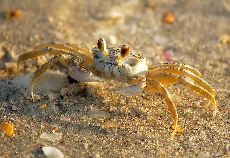 how to catch ghost crabs