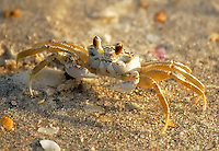 Ghost Crab photographed on Lover's Key in Lee County, Fl. They blend in so well with the sand that they can be almost impossible to see!