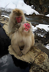 Japanese Macaque, Macaca, fuscata, adult grooming one another, Jigokudani National Park, Nagano, Honshu, Asia, primates, old world monkeys, snow, macaques, behavior, onsen, red face, loving, hot spring, river.Japan....