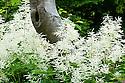 White Aruncus dioicus or goatsbeard, end June.