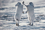 Arctic hares mainly feed on woody plants, but they will also eat other things, from moss to seaweed. These hares are in a territorial dispute on the tundra of Canada.
