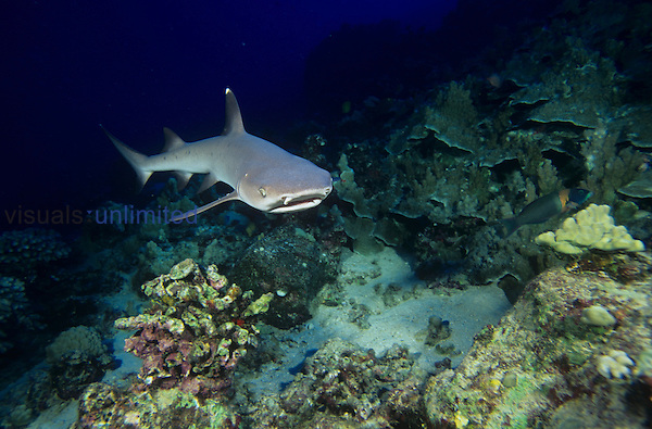 White-tipped Reef Shark swimming over a Coral reef ,Triaenodon obesus, Carcharhinidae, Tropical Indo-Pacific Ocean.