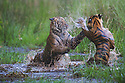 16 months old Bengal tiger cubs (Panthera tigris) playing in water, dry season, April