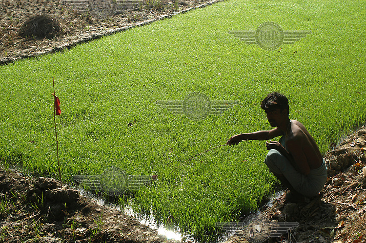 Man weeding young rice plants.