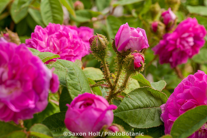 'Laneii' Old heirloom moss shrub rose in Sacramento Old City Cemetery