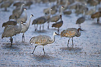 Wading Sandhill Cranes at Bosque Del Apache NWR