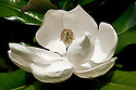 Close-up of creamy white flower of Magnolia grandiflora x virginiana 'Maryland', early August.