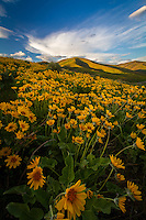 A blanket of yellow balsomroot wildflowers cover the hillside near East Canyon of the Wasatch Mountains near Salt Lake City, Utah.