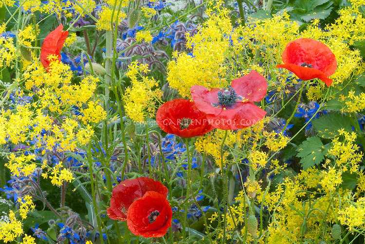 Isatis tinctoria (Woad), red poppies + herb Borago officinalis borage in a yellow, red and blue herb garden color theme