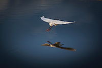 With white wings spread and golden slippers reflecting below, a Snowy egret takes flight at the San Leandro Marina on San Francisco Bay.