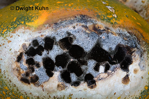 DC09-615z  Black Mold (Aspergillus Fungi) growing on pumpkin, Aspergillus spp.