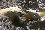 Polar bears in river in St. Felicien