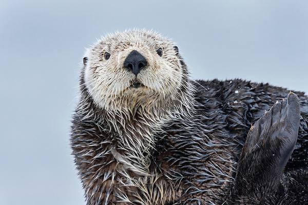 Adult Sea Otter (Enhydra lutris) on old boat dock,  Prince William Sound, Alaska.