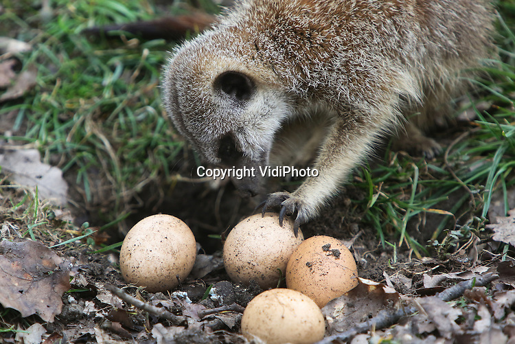 Foto: VidiPhoto<br /> <br /> ARNHEM - De combinatie Pasen en eieren is inmiddels een traditie in vrijwel alle dierentuinen. De stokstaartjes en neusberen van Burgers' Zoo in Arnhem werden donderdag al in een feeststemming gebracht. De dieren die slechts af en toe een eitje bij hun ontbijt krijgen, mochten donderdag volledig uit hun dak gaan. In een gulle bui liet de dierentuin tientallen eieren aanrukken, zowel gekookt als vers. De komende Paasdagen worden er in diverse Nederlandse dierentuinen activiteiten georganiseerd rond Pasen, waarbij eieren een grote rol spelen.