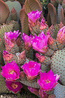 Opuntia basilaris, Beavertail Cactus, flowering cactus California native plant Anza Borrego State Park