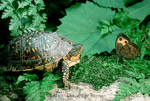 Female ornate Box turtle comes face to face with a beautiful Common Wood Nymph, Cercyonis pegala