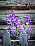 Flowers grow behind old fence posts in front of a wood building.