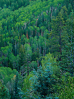749220115 brilliant yellow green quaking aspens populous tremuloides blanket a hillside on the road to point imperial on the north rim of grand canyon national park arizona