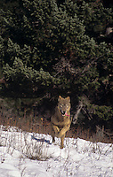 694926005 a captive adult gray wolf runs through a snowbank surrounded by fir trees in central montana