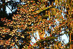 Monarch butterfly cluster at Lighthouse Field in Santa Cruz