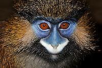 Moustached Monkey face (Cercopithecus cephus), Captivity.