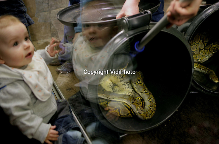 Foto: VidiPhoto..ARNHEM - De vier netpythons van Burgers'Zoo in Arnhem hebben woensdag een nieuw verblijf gekregen. De reptielen zijn in ruim anderhalf jaar 2,5 meter gegroeid. Door een verbouwing waren de slangen lange tijd niet te zien voor het publiek. Netpythons zijn wurgslangen en kunnen 8 meter lang worden.