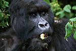 Portrait of feeding mountain gorilla.