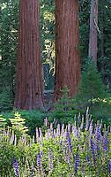 Yosemite Lupine