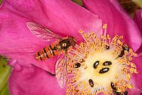 Hain-Schwebfliege, Gemeine Winterschwebfliege, Winter-Schwebfliege, Hainschwebfliege, Hain - Schwebfliege, Parkschwebfliege, Episyrphus balteatus, Blütenbesuch auf Rose, Rosa