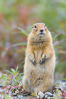 Arctic Ground Squirrel, Denali National Park, Alaska